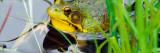Green Frog (Rana Clamitans) Hiding Behind Pond Grasses  New York
