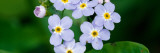 Forget-Me-Not Flowers (Myosotis Scorpioides) Blooming  New York