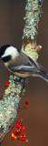 Black-Capped Chickadee Bird on Tree Branch With Berries  Michigan