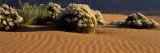 Birdcage Evening Primroses (Oenothera Deltoides) in a Desert  California