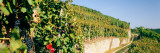 Gravel Road Passing Through Vineyards  Germany