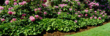 Flowers in a Garden  Rhododendron  Michigan