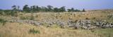 Zebra Migration  Masai Mara National Reserve  Kenya
