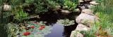 Water Lilies in a Pond  Sunken Garden  Olbrich Botanical Gardens  Madison  Wisconsin