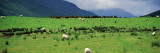 Rural Scene With Sheep Grazing  Dark Clouds  Ireland