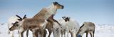 Reindeers (Rangifer Tarandus) in a Snow Covered Field  Chukotka  Siberia  Russia