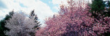 Blooming Star and Saucer Magnolia Trees  New York