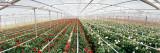 Daisy Flowers in a Greenhouse  Carpinteria  Santa Barbara County  California