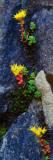 Wild Stonecrop Flowers Or Sedum Blooming in Rock Crevice  Close Up  Mount Rainier National Park