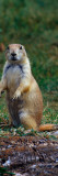 Prairie Dog Sitting Up in Grass  Looking At Camera  North Dakota