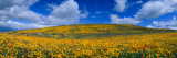 California Golden Poppies (Eschscholzia Californica) Blooming  Antelope Valley  California
