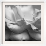Rose Petals II
