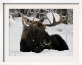 Bull Moose with Christmas Lights Tangled in its Antlers Rests in a Field in Anchorage  Alaska