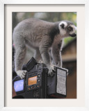 Ring Tailed Lemur Sitting on a TV Camera During a Press Call in Hagenbeck's Zoo in Hamburg