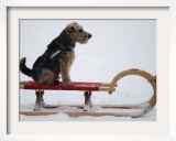Dog is Pulled on a Sledge in the Snow in Gelsenkirchen  Germany