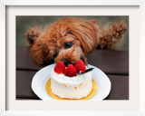 Toy Poodle Eats a Special Christmas Cake Made from Rice Powder and Natural Honey in Tokyo