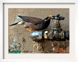 A Nightingale Quenches its Thirst from a Leaking Tap During a Sizzling Day