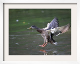 A Female Mallard Comes in for a Landing on the Chagrin River  Ohio  September 7  2006