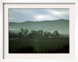 An Early Morning Fog Helps to Paint the Horizon Over a Vineyard Thursday