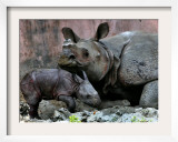 Hartali  a Rhinoceros at the Patna Zoo  is Seen with Her New Baby in Patna  India  January 24  2007