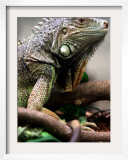 Green Iguana at Exotic Animal Exhibition  Sofia  Bulgaria
