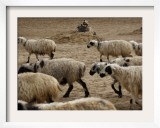 US Marine LCpl James Harris Guards at a Position as Sheep Pass by During a Shura