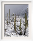 Snow Covers Desert Vegetation at the Entrance to the Santa Catalina Mountains in Tucson  Arizona