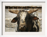 Championship Bulls at the Mequite Rodeo Ranch