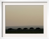 A Herd of Wildebeest Walk in Formation