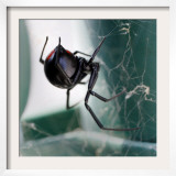 A Female Black Widow Spider