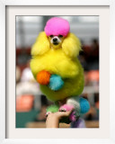 A Poodle Named Peter is Posed on its Owner&#39;s Hand During Competition at the World Dog Exhibition