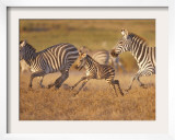 Zebras and Offspring at Sunset  Amboseli Wildlife Reserve  Kenya