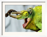 A Newly Born Jackson&#39;s Chameleon Rests on its Dad&#39;s Horns