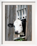 A Cow Peers out of a Barn Window in Sutton  NH