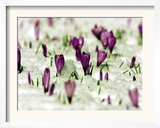 Crocus Blossoms Break Through the Snow Blanket