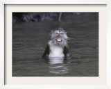 Long-Tailed Macaque Monkey Sits in the Water after Taking Food from a Tourist Boat in Malaysia