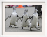 Trio of New Adolescent Magellanic Penguins Waddle Through the San Francisco Zoo