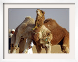 Camels Fight During the 36th Sahara Festival of Douz  Southern Tunisia