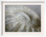 Fossil Shells II