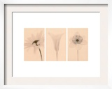 Faint Petals Triptych