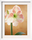 White and Pink Amaryllis