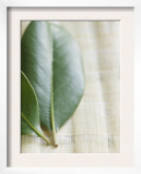 Magnolia Leaves II