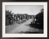 California Citrus Heritage Recording Project  Workers Harvesting Oranges  Riverside County  1930