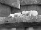 As Two Polar White Bears Are Sleeping  They Lean on One Another