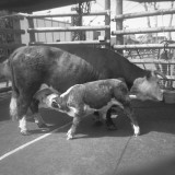 Cow Feeding Young Calf in Pound