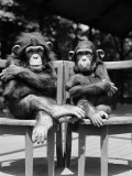 Two Baby Chimpanzees Sitting in Chairs With Their Arms and Legs Folded