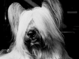 Skye Terrier With Hair Covering Eyes and Bottom Teeth Showing