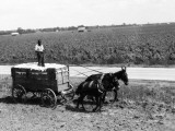 African-American Farmer Standing in Cart Filled With Cotton Drawn By Mules  Louisiana