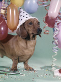 Dachshund Wearing Party Hat With Polka Dots Balloons