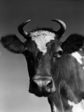 Guernsey Cow With Horns